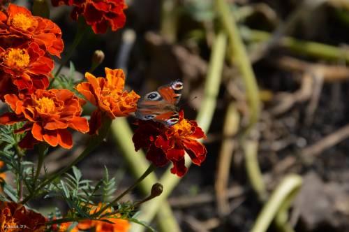 метелик фото